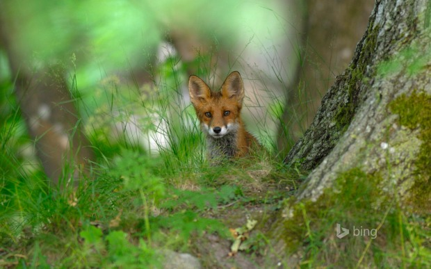 A red fox, in the forest of Elfvik near Lidingö, Sweden