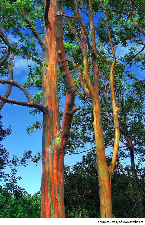 hawaii-eucalyptus-tree