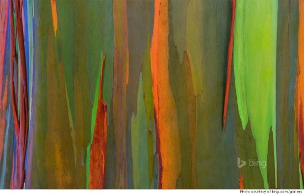 Bark of a rainbow eucalyptus tree, Maui, Hawaii