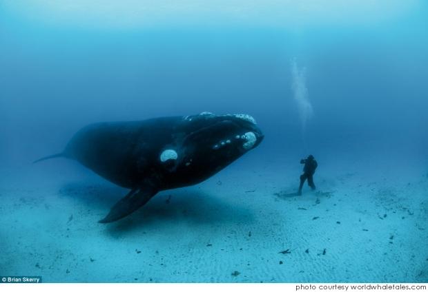 La ballena Boreal es el único mamífero que vive 200 años www.20minutospordia.com