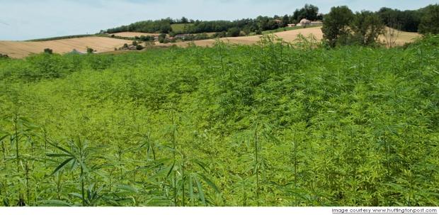 La planta del cannabis más allá de la marihuana