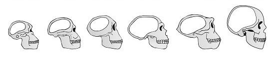 evolution skull